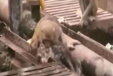 Un mono salva a otro que cayó electrocutado a las vías del tren