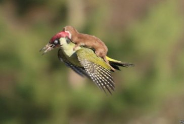 Imagen: La comadreja que saltó sobre un pájaro carpintero
