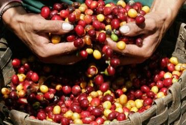 Producción de café de Colombia superó el millón de sacos en enero