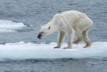 Foto de osa polar desnutrida le da la vuelta al mundo
