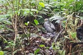 Implante de plumas permitió a gavilán volver a volar