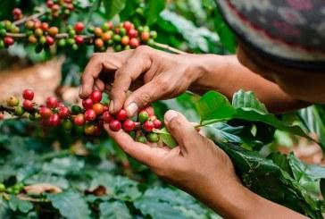 Cosecha cafetera crece 19% en septiembre