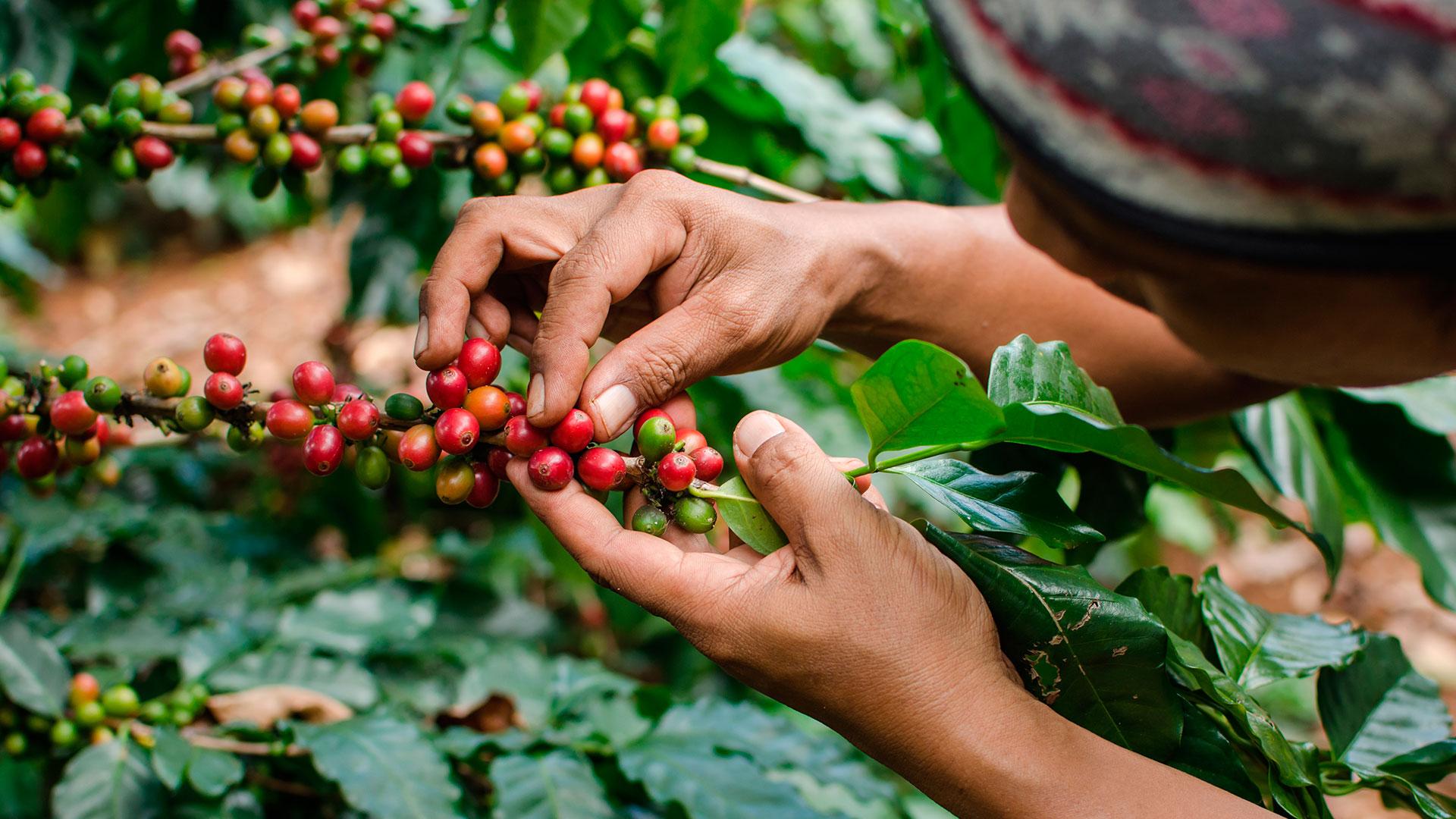 Crece 19% cosecha cafetera en Colombia